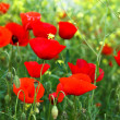 Stock Photo: Red poppies and yellow flowers