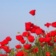 Some poppies — Stock Photo
