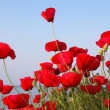 Poppies near the sea and sky — Stock Photo