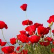 Poppies near the sea and sky - Stock Photo