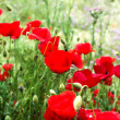 Red poppies and grass — Foto Stock