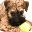 Small brown puppy — Stock Photo