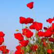 Red poppies and blue sky - Stock Photo