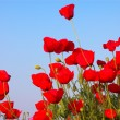 Red poppies and blue sky — Stock Photo #1328366