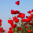 Stock Photo: Poppies on evening sky