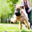 Running dog on green grass — Stock Photo #1328425