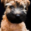 Irish soft coated wheaten terrier - Stock Photo