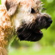 Irish soft coated wheaten terrier — Stock Photo