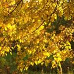 Autumn gold leaves — Stock Photo