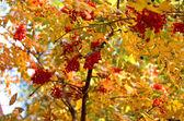ナナカマドの枝 — ストック写真