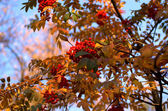 Rowan κλαδί — Φωτογραφία Αρχείου