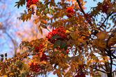 Rowan větvička — Stock fotografie