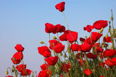 Poppies on the evening sky — Stock Photo