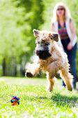 Running dog on green grass — Stock Photo