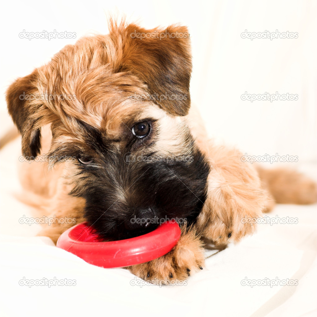 Small brown puppy with teddy hair — Stock Photo #1328670