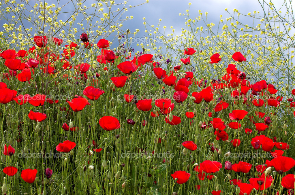 Yellow Poppy Images Red Poppies And Yellow Flowers