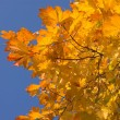 Maple leaves — Stock Photo #1330134