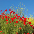 Poppies and sky 3 — Stock Photo