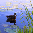 Stock Photo: Duck on surface of lake