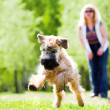 Running dog on green grass — Stok fotoğraf