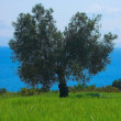 Olive tree in the field — Stock Photo