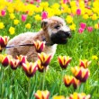 Running dog on  Tulips — Stock Photo