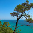 Stock Photo: Pines near ocean