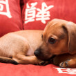 Dachshund puppy — Stock Photo #1331135