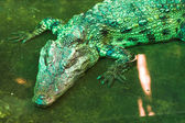 Green reptile without motion — Stock Photo