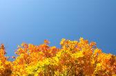 Maple leaves below — Stock Photo