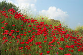 Poppies and sky diagonal — Stock Photo