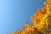 Maple leaves diagonal — Stock Photo