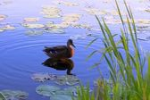 Duck on surface of lake — Stock Photo