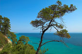 Pines near the ocean — Stock Photo