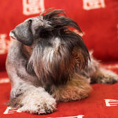 Minischnauzer dog — Stock Photo