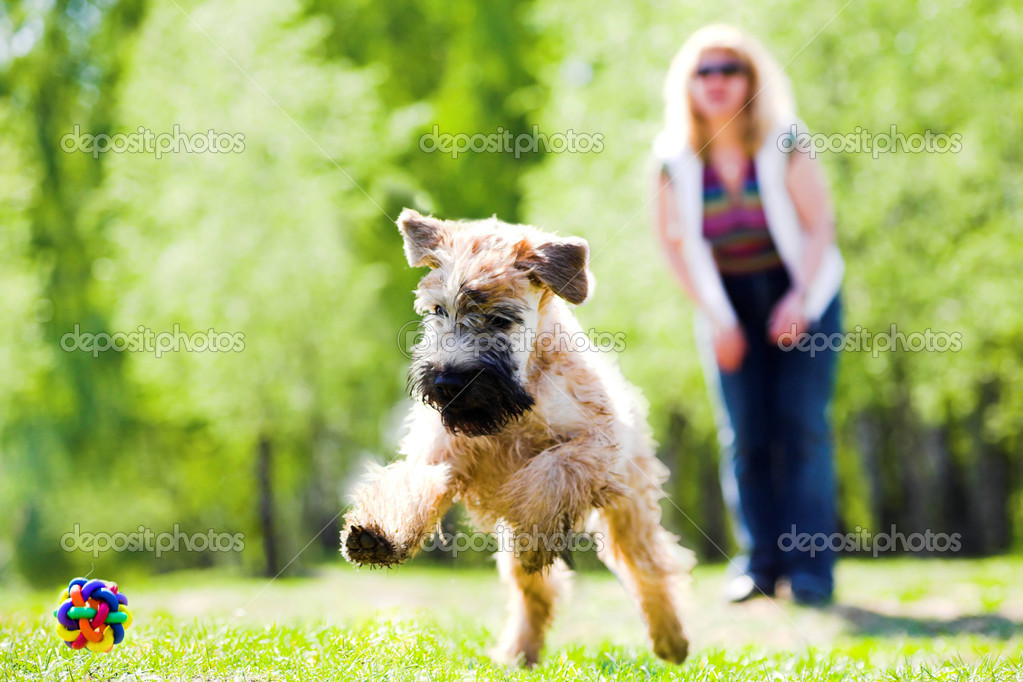 Running dog on green grass and ball (Irish soft coated wheaten terrier)  Foto de Stock   #1330872
