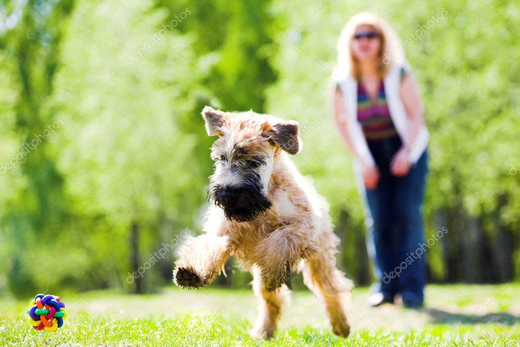 Running dog on green grass and ball (Irish soft coated wheaten terrier) — Stockfoto #1330872