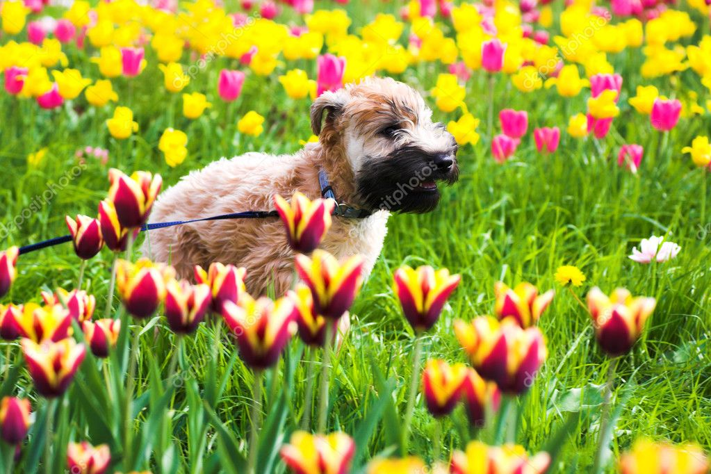 Running dog on tulips (Irish soft coated wheaten terrier)  Stock Photo #1330984