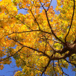 Gold maple tree — Stock Photo #1380064