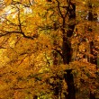 Stock Photo: Autumn tree in the forest