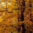 Autumn tree in the forest - Stock Photo