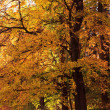 Onange autumn tree - Stock Photo
