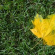 Single yellow maple leaf - Stock Photo