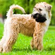 Irish soft coated wheaten terrier — Stock Photo #1380250