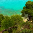 Stock Photo: Pines near seaside