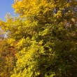 Foto Stock: Autumn yellow woodland
