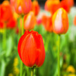 Red tulips meadow - Stock Photo