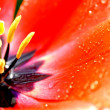 Close-up rode tulip — Stockfoto