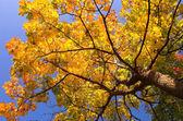 Drzewo klon złota — Zdjęcie stockowe