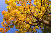 Gold maple tree — Stock Photo